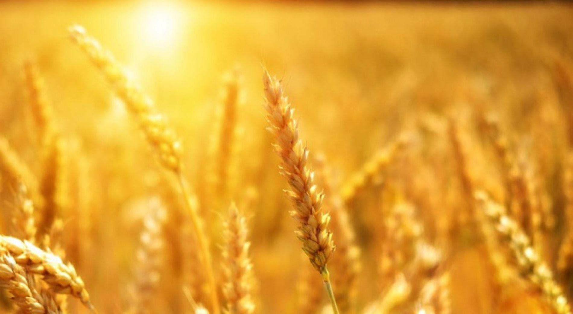 Много качествена реколта от зърно в Сливен България